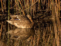 1301_Resting Duck_165
